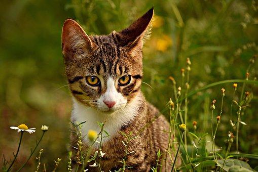 Tabby Cat, Mackerel, Animal, Mammal, Pet, Domestic