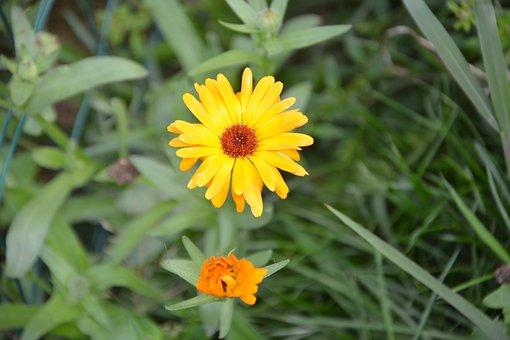 Flower, Summer Flower, Garden, Petals, Yellow Daisy