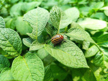 Beetle, Colorado, Potatoes, Insect, Pest, Nature