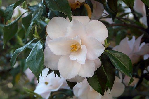 Camellia, Flowers, Spring, Ornamental Shrub, Close Up