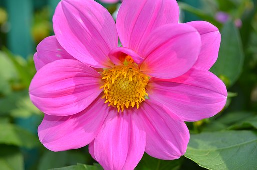 Pink Flower, Dahlia, Beauty, Summer, Bloom, Pink
