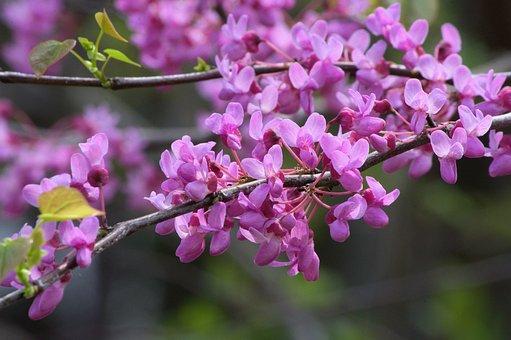 Arkansas Redbud Blossoms, Redbud, Tree, Flowers