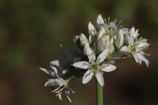 Onion Blossom, Nature Recording, Leaves, White, Green