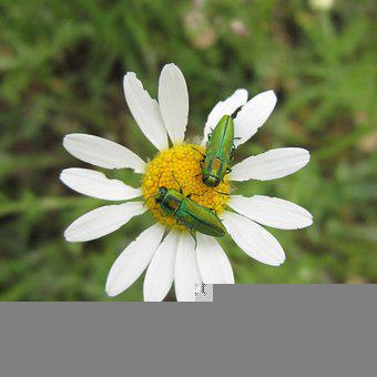 Anthaxia, Anthaxia Scorzonerae, Buprestidae, Beetle