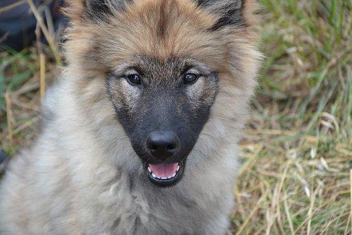 Dog, Portrait Puppy, Pup, Bitch Orlaya, Dog Eurasier