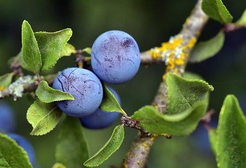 Blackthorn, Prunus Spinosa, Schlehendorn, Schlehe