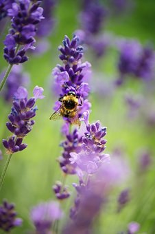 Insect, Hummel, Bee, Flower, Blossom, Bloom, Garden