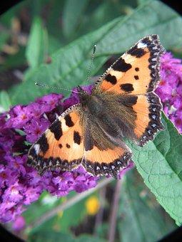 Butterfly, Blossom, Bloom, Little Fox, Fuchs, Orange