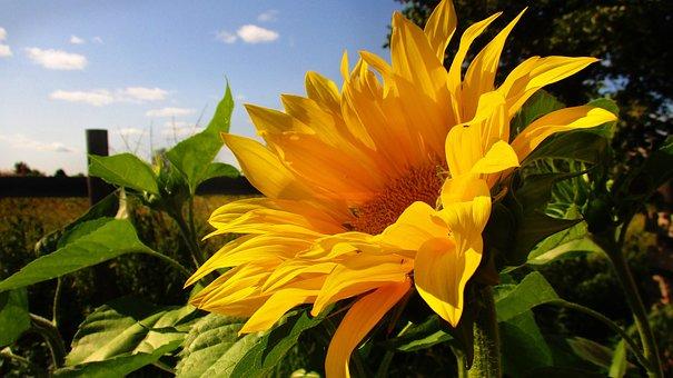 Sunflower, Yellow, Bright, Summer, Blooms, Garden