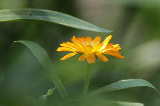 Calendula, Marigold, Flower, Plant, Medicinal Plants