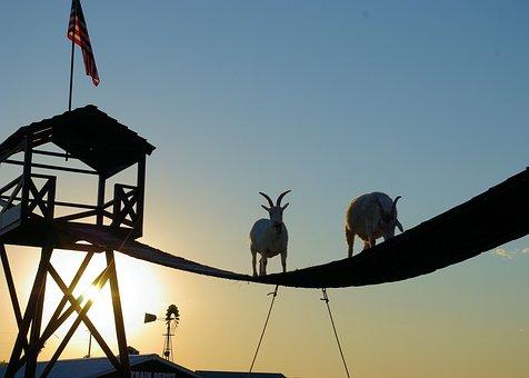 Climbing Goats, South Dakota, Animal, Goat, Horns
