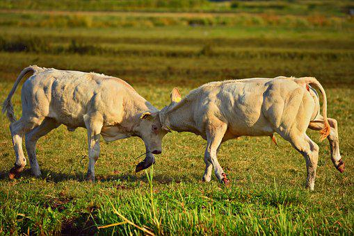 Bull Calf, Cattle, Animal, Mammal, Livestock, Fighting