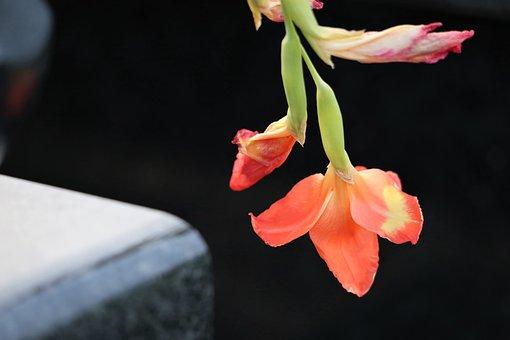 Gladiola, Gladiolus Hybridum, Evening, Black Marble