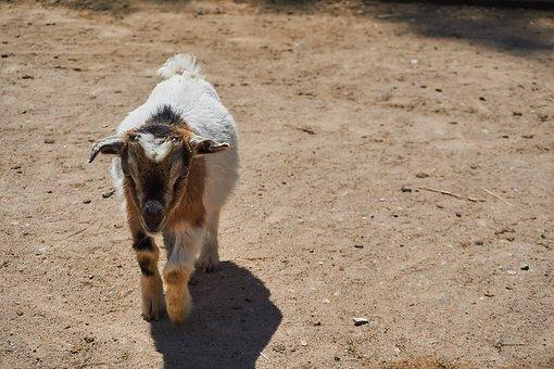 Goat, Petting Zoo, Animal, Zoo, Domestic Goat, Horns