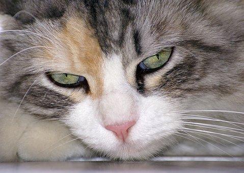 Cat, Animal, Cat's Eye, Look, Malai, Head, View, Feline