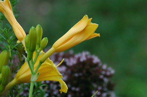 Flowers, Garden, Yard, Yellow, Hémérocalles