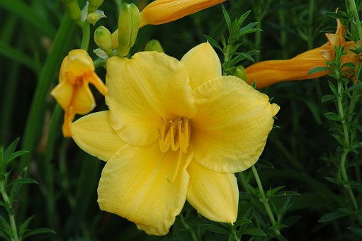 Flowers, Garden, Yard, Hémérocalles, Yellow, Prairie