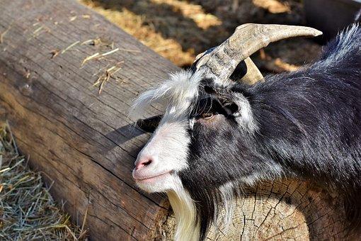 Goat, Billy Goat, Goatee, Goat's Head, Horns, Horned
