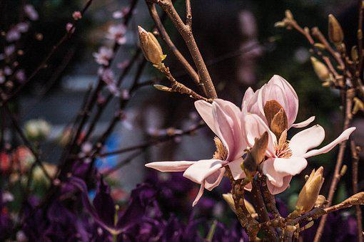 Magnolia, Flowers, Branch, Pink, Bud, Inflorescence