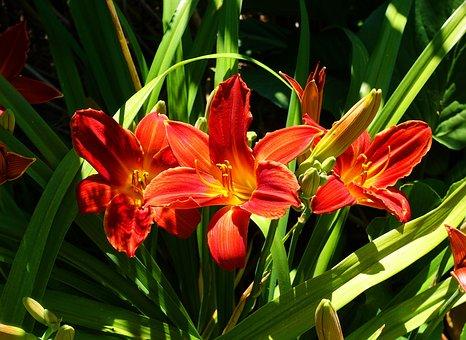 Lily, Red, Flower, Lilies, Summer, Fiery, Garden