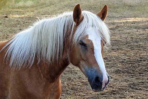 Horse, Haflinger, Mane, Horse Head, Animal, Mammal