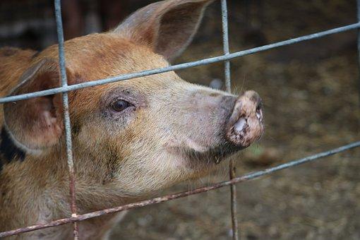 Pig, Animal, Farm, Mammal, Funny, Snout, Cute, Piglet