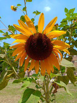 Sunflower, Nature, Sky, Plant, Flowers, Egypt, Color