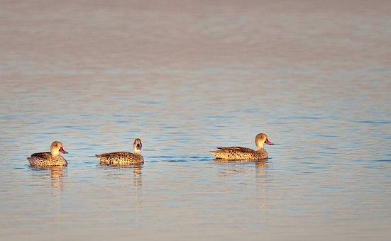 Cape Teal Ducks, Ducks, Birds, Water, Nature, Animal