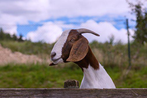 Goat, Horn, Fur, Quadruped, Domestic Goat, Mammal