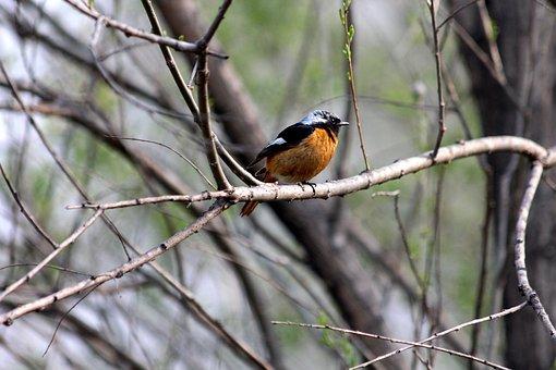 Redstart, Bird, Phoenicurus Auroreus, Living Nature