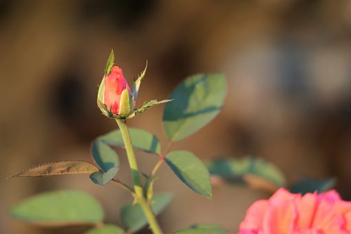 Orange Rose, Bud, Flower, Plant, Romantic, Summer