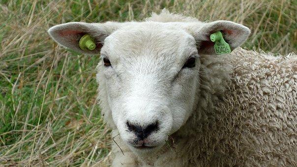 Sheep, Portrait, Head, Schapenkop, Cattle, Animal