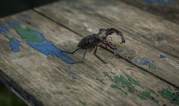 Stag Beetle, Beetle, Insect, Nature, Stags, Entomology