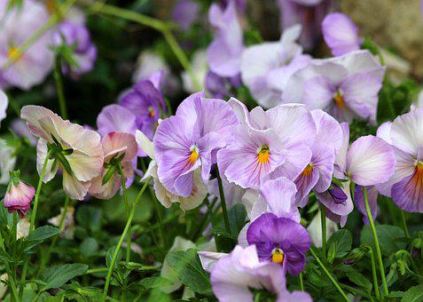 Pansies, Summer Flowers, Flowers, Plants, Bloom