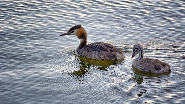 Grebe, Water, Young, Bird, Swimming, Animal World