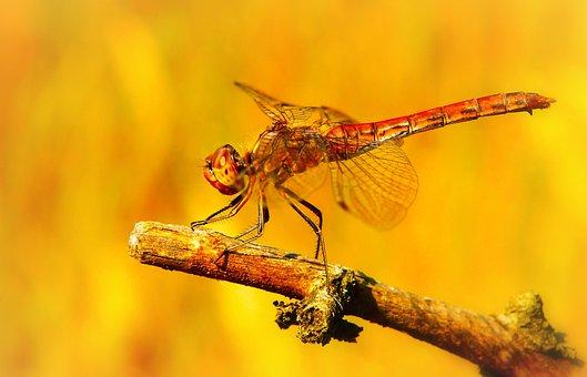 Szablak Blood, Tom, Insect, Dragonflies Różnoskrzydłe