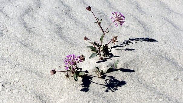 Desert, Sand, White Gypsum, Flowers, Dry, Dunes
