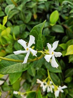 Jasmine, Flower, White, Green, Plant, Bush, Shrub