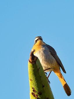 Cape Robin-chat, Bird, Nature, Wildlife, Animal, Wild