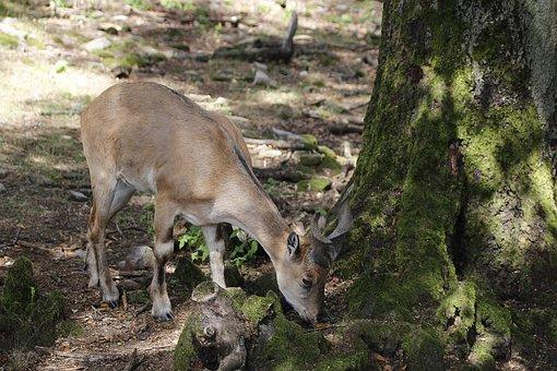 Screw A Goat, Animal, Wildlife Park, Goat, Horns
