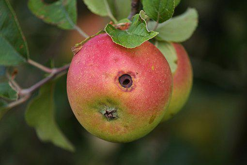 Apple, Worm Hole, Fruit, Apple Tree, Nature