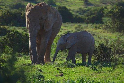 Elephant, Young, Old, Walking, Animal, Addo, National