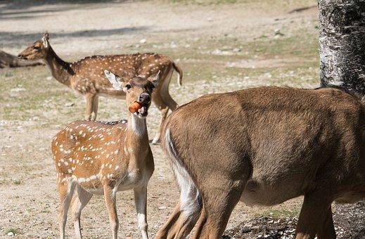 Bukhara Deer, Hirsch, Red Deer, Animal, Animal World