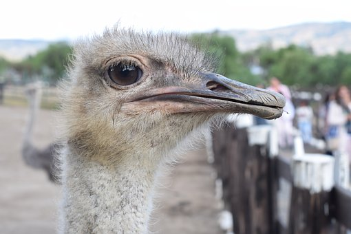 Ave, Animal, Nature, Portrait, Peak, Ostrich