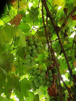 Grapes, Plants, Average