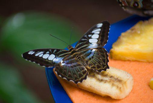 Banana, Butterfly, Insect