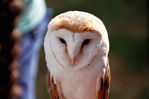Barn Owl, Owl, Bird, Bill, Feather, White, Tytonidae