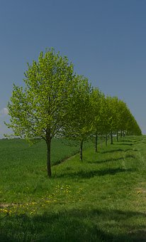 Tree, Row Of Trees, Sky, Green, Blue, Nature, Landscape