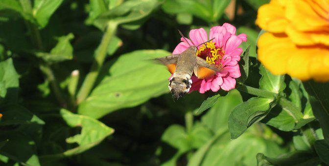 Nature, Hummingbird Hawk Moth, Butterfly, Owls