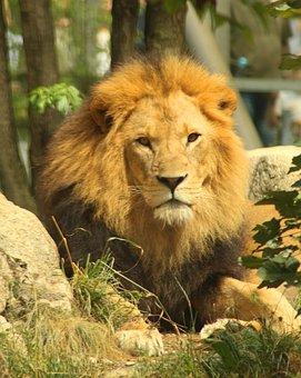 Lion, Cat, Animal, Predator, Carnivores, Africa